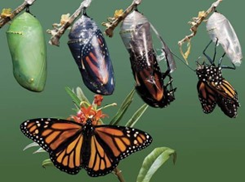 butterfly and chrysalis